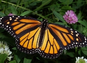 Fluturele Monarch