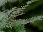 Taxus contorta